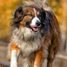 Out for a walk - English Shepherd by Twin Wranglers Baker - Animals - Dogs Running (  )