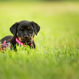 by Juan Smit - Animals - Dogs Puppies