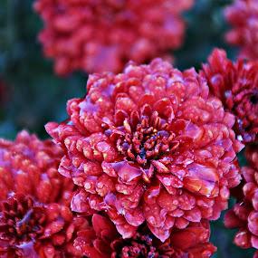 Kırmızı çiçek by Recep Cenbek - Flowers Flower Gardens ( damla, çiçek, kırmızı )