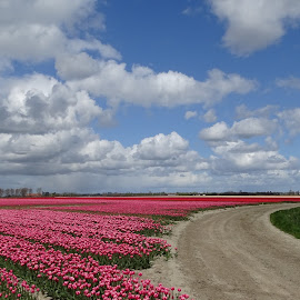 tulips fields by Nico Kranenburg - Landscapes Prairies, Meadows & Fields ( cloudy sky, holland, tulip, fields )