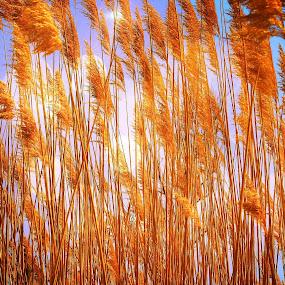 Golden Plumes by Virginia Folkman - Landscapes Prairies, Meadows & Fields