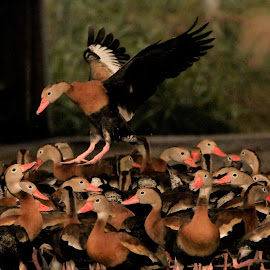 Duck Life by Cosmo Tamayo - Novices Only Wildlife ( whistling ducks, rio grande valley, duck heaven, south texas, birding )