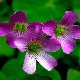 Wood sorrel  by Asif Bora - Flowers Flowers in the Wild (  )