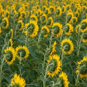 SUNFLOWERS by Adrian Penes - Landscapes Prairies, Meadows & Fields ( field, sunflower, romania, yellow )