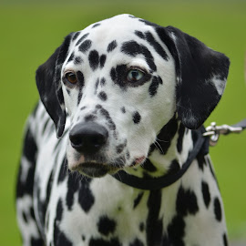 Dalmation by Becky Smith - Animals - Dogs Portraits
