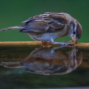 Reflecting by Robert Strickland - Animals Birds (  )