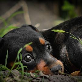 by Banie du Randt - Animals - Dogs Puppies