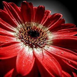 OLI gerber 07 DVD by Michael Moore - Flowers Single Flower