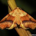 Straight-lined Plagodis Moth