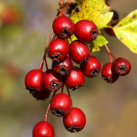 Bird Fodder by Chrissie Barrow - Nature Up Close Other Natural Objects ( red, nature, hawthorn, leaves, bokeh, closeup, berries )