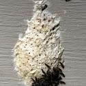 Gypsy Moth Caterpillars and Egg Mass