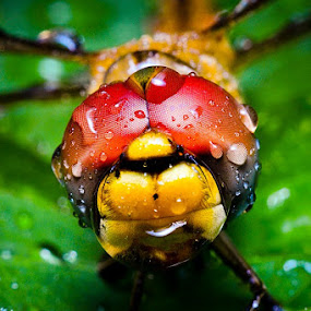 Wet by Juang Rahmadillah - Animals Insects & Spiders ( macro, indonesia, dragonfly, nikon )