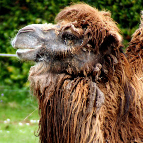 Shaggy by Ralph Harvey - Animals Other Mammals ( hairy, camel, animals, paignton zoo, wildlife )