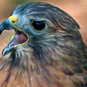 Red-Tailed-Hawk-021.jpg