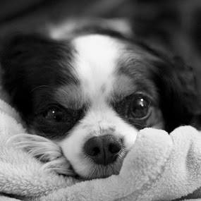by Glenn Clancy - Animals - Dogs Portraits ( pearl, black and white, puppy, king charles spaniel, eyes )