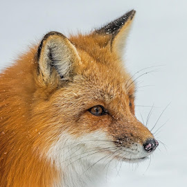 Red Fox in a Snowstorm by Steve Dunsford - Animals Other Mammals ( fox, canada, ontario parks, snowstorm, wildlife, snowflake, ontario, portrait, red fox, canid, winter, nature, algonquin, snow, outdoor, algonquin park, animal )