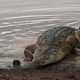 Crocodile by Bjørn Borge-Lunde - Animals Amphibians ( wild animal, wilderness, nature, crocodile, amphibian, wildlife, africa )