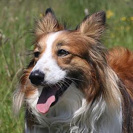 Ruby Again by Chrissie Barrow - Animals - Dogs Portraits ( red, tongue, female, pet, shetland sheepdog, white, fur, ears, brown, dog, nose, sheltie, tan, portrait, eyes,  )