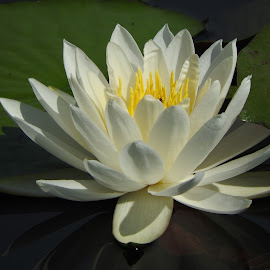 Water lily up close by Bill Martin - Nature Up Close Other Natural Objects ( water, nature, white, water lily, flower )