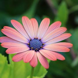 Gerbera Beauty by Raphael RaCcoon - Flowers Single Flower ( pink flower, beautiful, garden, gerbera, flower )