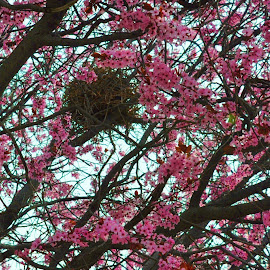 BLOSSOMS HIDING THE BIRD NEST by Trudy Peterson - Nature Up Close Trees & Bushes ( sring birds nest )