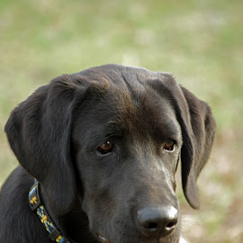 Buddy by Giselle Pierce - Animals - Dogs Puppies ( pet, collar, puppy, labrador, dog )