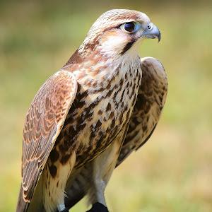 Eurasian hobby (Falco subbuteo).jpg