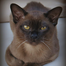 brown Burmese kitten by Caroline Beaumont - Animals - Cats Kittens ( brown burmese kitten )