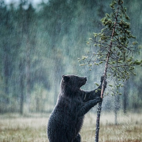 Dancing in the rain by Janne Monsen - Animals Other ( bear, water, dancing, nature, trees, rain, animal )