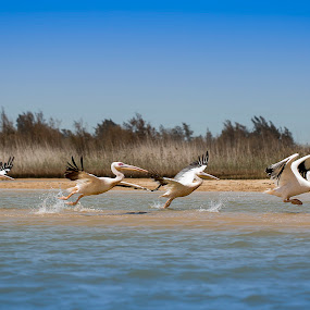 Pelicans leaving to warmer places by Sabina Lombardo-Salmina - Animals Birds ( pelicans, national parks, migra, senegal,  )