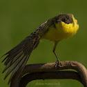 dark-headed wagtail (yellow wagtail)