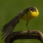 dark-headed wagtail (yellow wagtail)
