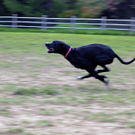 Fetch by Kevin Adams - Animals - Dogs Running