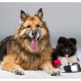 by Suzana Svečnjak - Animals - Dogs Portraits ( pets, senior dog, german shepherd, puppie, american akita )