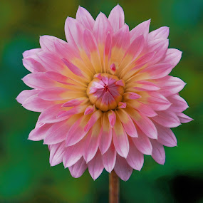 Pink & Yellow Dahlia  by Jim Downey - Flowers Single Flower ( pink, green, dahlia, yellow, petals )