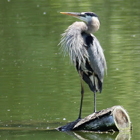 Blue Heron, Green Lagoon by Lena Arkell - Animals Birds ( lagoon, blue, blue heron, green, lake, heron,  )