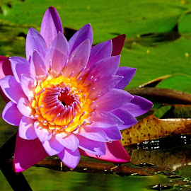 Waterlily by Asif Bora - Flowers Flower Gardens