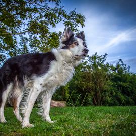 Friend Takoda by 'Monique Smit - Animals - Dogs Portraits