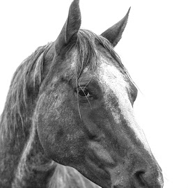 Horse Head Portrait - Hoot by Twin Wranglers Baker - Animals Horses ( horse portrait, horse, appaloosa horse, appaloosa, horse head portrait )