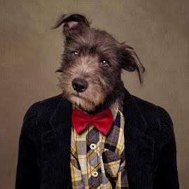 Ombré by Tammy Swarek - Animals - Dogs Portraits ( fashion, springer, dogs, tie, rescue, photography, eldorado, tammyswarek, shelter, style, stylish, pets, menswear, tammy swarek, vest, arkansas, animal, shirt, shelterpets, adoption, animals, spaniel, clothes, schnauzer, adoptable, terrier, tammyswarek cute, mix, portrait, human, opttoadopt, fineart, bowtie, swarek, shelterpetsproject, suit, tammy, ucaps, adorable, dog )