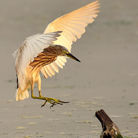Pond Heron landing by Manoj Kulkarni - Animals Birds ( water, white, land, wildlife, heron, wader, bird, flying, open, landing, nature, wings, pond )