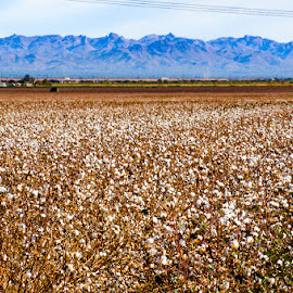 Cotton field by Dustin Wilcox - Novices Only Flowers & Plants ( field, cotton )