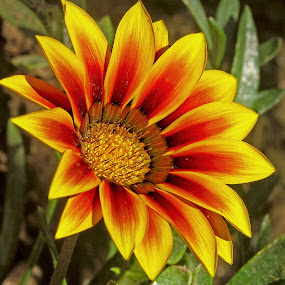 Gazania Flower Blooming In Greece by Graham Mulrooney - Flowers Single Flower ( plant, horizontal flower, annual, flora, seed, grows, bloom, from, yellow, beauty, blossom, up, close, history, colour, red, nature, color, horizontal, flowers, natural, garden, floral )