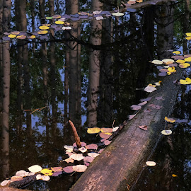 Mixed Forest Reflected by Marko Ginsberg - Nature Up Close Water ( reflection, forest, pond, aspen, fall color )