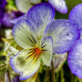Rainy Viola by Patricia Phillips - Flowers Flower Gardens ( flowers raindrops violas )