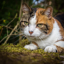 by Falk Tschirschnitz - Animals - Cats Portraits