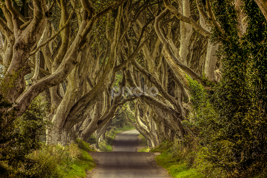 The Dark Hedges | Northern Ireland by James Pion - Nature Up Close Trees & Bushes ( dramatic landscapes, ireland, dark hedges, tree tunnel )