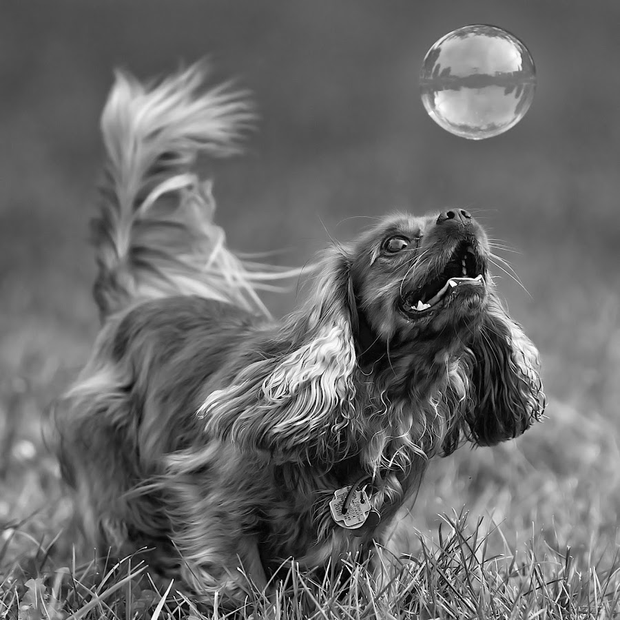 by Harold Blum - Animals - Dogs Portraits ( bubble, dogs, park, black and white, spaniel, play, chicago )