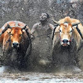 Pacu Jawi @Parambahan West Sumatera by Zairi Waldani - Sports & Fitness Rodeo/Bull Riding