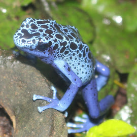 Blue Frog by Richard Crosier - Animals Amphibians ( nature, blue, frog, wildlife, landscapes,  )